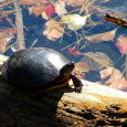 Chances are you may have had a pet turtle when you were small, or at least knew a child who did. I have known several tiny turtle pet owners who were unaware of the deadly pet who was living under their roof with their children. So if you or someone you know has a small turtle living in one of their fish tanks, let them know, turtles can be harmful to their loved ones. It is surprising to learn that turtles have been illegal since 1975. According to the FDA&#8217;s website and last updated on August 30, 2012 the Center...