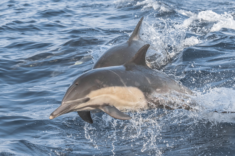 2 Dolphins in the Pacific Ocean