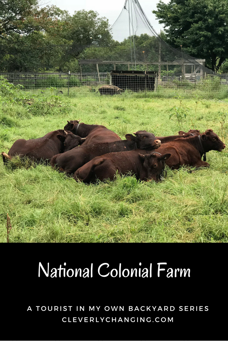 American Milking Devon Cattle at the National Colonial Farm